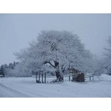 『雪景色の弘法桜』の画像