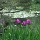『菖蒲に睡蓮』の画像