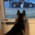 【イヌ】 デートの時間が終わってしまった。窓から見送る → 犬の尻尾はこうなります…