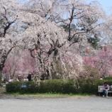 『榴岡公園の桜』の画像