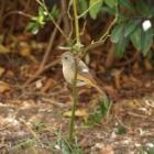 『野鳥は手入れされた庭が好き【Sony a6000で撮る野鳥】』の画像