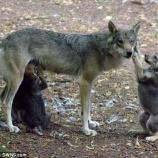 『射殺:オオカミが絶滅した英国で47年ぶりの赤ちゃん誕生なのに』の画像