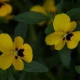 『5月の自宅の花②』の画像