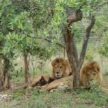 『ホセとリサ・二頭のライオンたち』の画像