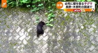 【クマ】必タヒに壁を登る子グマ、長野・木曽町の国道で視聴者が撮影