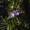 庭の花 「ローズマリー」