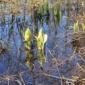 マクンベツ湿原のミズバショウ2015-vol.2-
