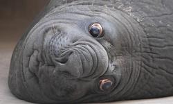 ゾウアザラシとかいう化け物wwwwww