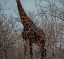 【南アフリカ】キリンに襲われ死亡、撮影中の映画製作者 キリンが振り下ろした頭が頭に当たる