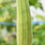 『ヘチマだより2018(5)初収穫』の画像