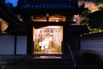 専称寺のしだれ桜【2017】