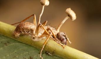 寄生されたアリ、脳は機能したまま菌に筋肉を強制的に操られていた