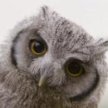 『【可哀想】フクロウが20羽のカラスにイジメられる哀しい映像』の画像