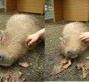コアラ3匹のエサ代年間7400万円のせいで経営が厳しい天王寺動物園が白クマの赤ちゃん公開