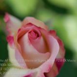 『MINOLTA 50mm F2.8 Macro 5.4は「みどりの日」』の画像