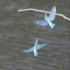 『投稿:MILTOLによるカワセミ 2021/02/11』の画像