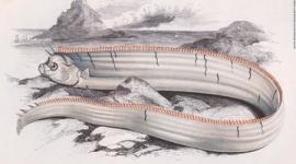 日本沿岸でリュウグウノツカイの発見相次ぐ…「地震の前兆」と恐れる声も