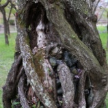 『桜の若返り』の画像