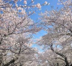 今年の桜2020