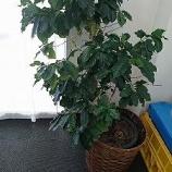 『ムラタ園芸部 その29 ~コーヒーの木』の画像