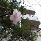 『那覇市もそろそろ桜が咲き初めてました。』の画像