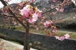 激早っ!『桜』がもう咲いてる〜星田の傍示川沿いのところ〜