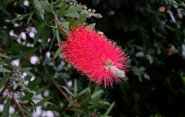 『新製品:LAOWA65mmF2.8による花~ブラシの木&アザミ 2020/06/19』の画像