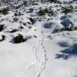 『足跡で逃げたアライグマを保護』の画像
