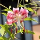 『暑いけどカノコユリが咲いてギンヤンマも羽を休める庭&タカサゴユリ面白生態』の画像