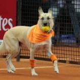 『保護犬たちがテニスのボールドッグで活躍』の画像