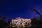 その景色がスゴイ!桜のライトアップは3月28日(木)まで〜大阪市立大学理学部附属植物園の枝垂れ桜〜