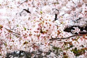 海外「福岡から大阪まで制覇する」桜の開花予報に訪日意欲が高まる海外の人々