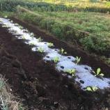 『畑ダブルヘッダーは白菜苗植え』の画像