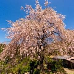 桜と温泉を求めて十津川へ