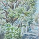 須磨寺 4百年楠木