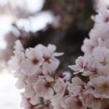 『桜へのリベンジ・・SIGMA 70mm f2.8 DG MACRO』の画像