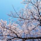 『コロナに負けず桜満開🌸』の画像