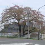 『わが家の桜08-17』の画像