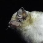 『白いコウモリの日』の画像