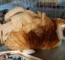 背中に900グラム以上の「ラスタ」なドレッドヘアを背負った猫がボランティアに救われる