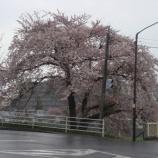 『わが家の桜10 10』の画像