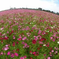 安城市赤松町の秋桜畑