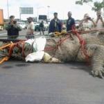 【驚愕】パナマ運河で捕獲されたワニがでかすぎると話題にwww