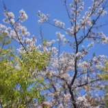 『【写真】RX1 佐倉の桜』の画像