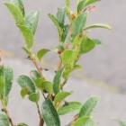 『9月の庭に潜む危険な毛虫チャドクガの退治と鉄砲虫の被害&クロアゲハの羽化』の画像