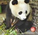 中国でおばさんたちが動物園前で声を張り上げ歌い踊る → パンダが不整脈に