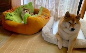 先住犬のベッドでくつろぐニャンコ