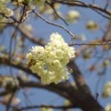 『今年の桜』の画像