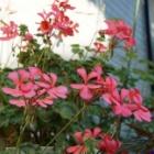 『ゼラニウム秋まで花いっぱいに咲かせる春の植え替え』の画像