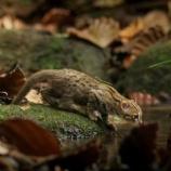 『世界最小の野生ネコ』の画像